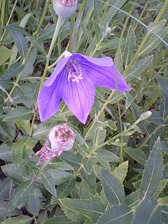 100710_balloon flower_01.jpg