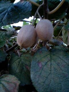 kiwifruit_100917.jpg