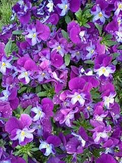 viola110419-01murabiwhi.jpg