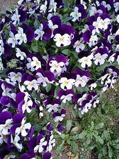 viola110419-07murawhi.jpg