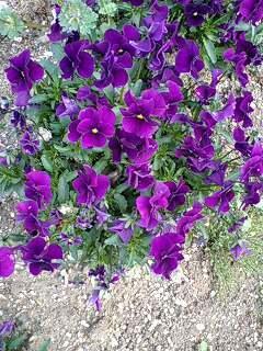 viola110419-08allmura.jpg
